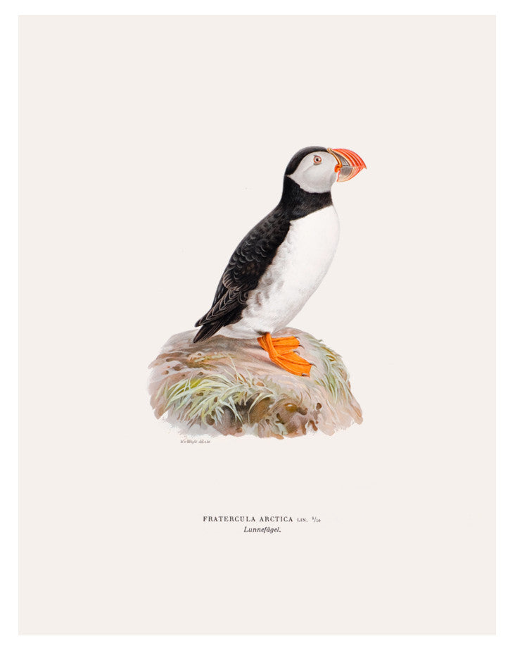 Swedish Bird Lithograph, Atlantic Puffin