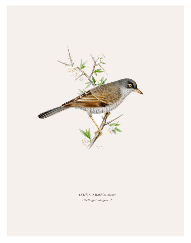 Swedish Bird Lithograph, Barred Warbler - LEIF