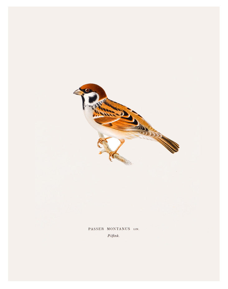 Swedish Bird Lithograph, Tree Sparrow