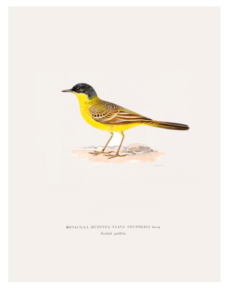 Swedish Bird Lithograph, Grey Headed Wagtail