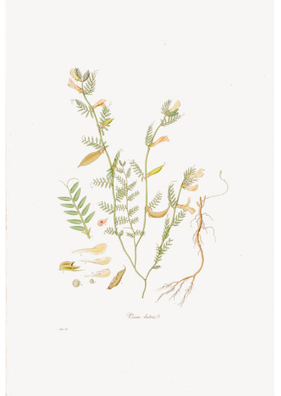 Vintage Botanical Prints