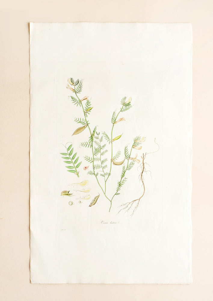 1: Botanical Magazine Print #74 in  - LEIF