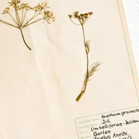 2: Dried dill specimen preserved on paper with handwritten description