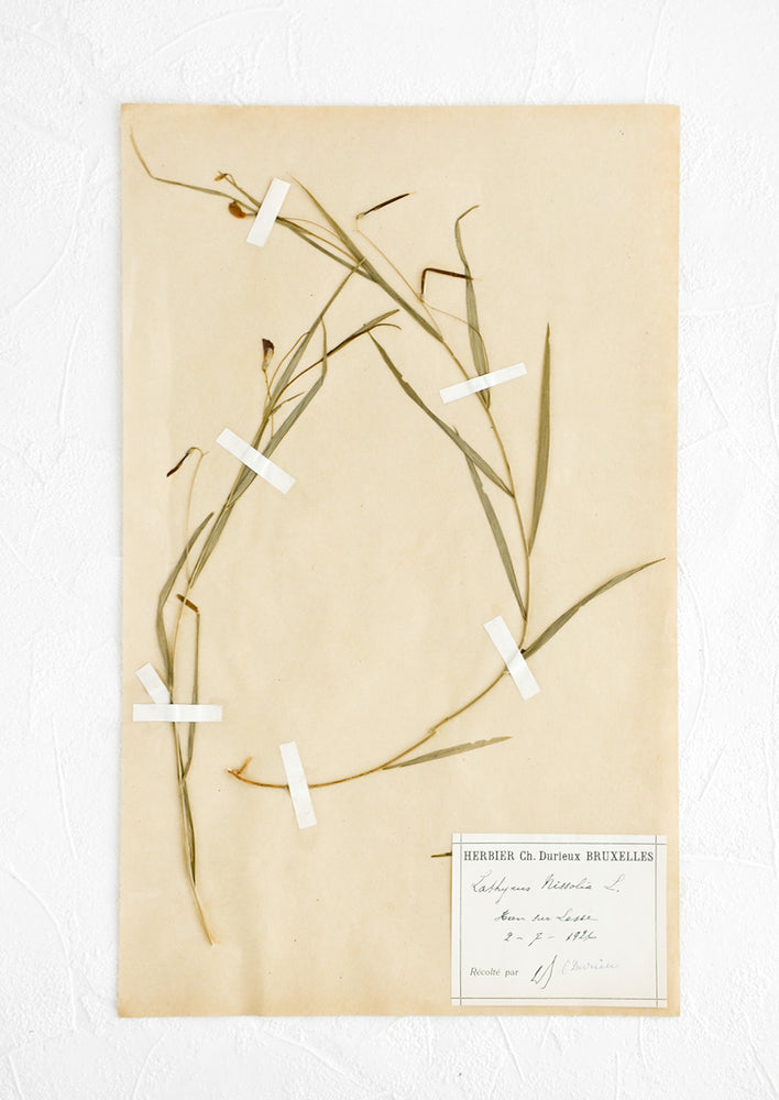 1: One hundred year old dried floral specimen (grass pea) on paper, used as artwork