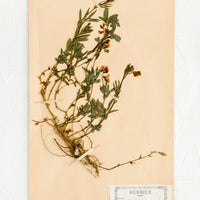 1: One hundred year old dried floral specimen (tuberose) on paper, used as artwork