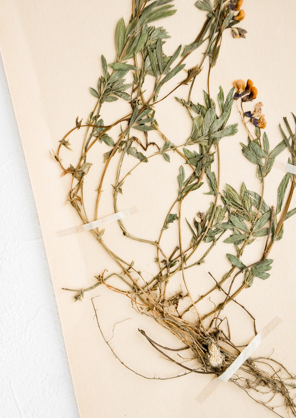 2: Dried tuberose floral specimen taped to paper