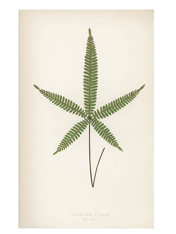 Cheilanthes Radiata Fern Print, c. 1872