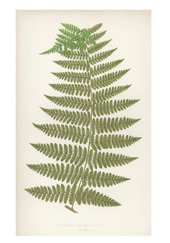 Hypolepis Repens Fern Print, c. 1872