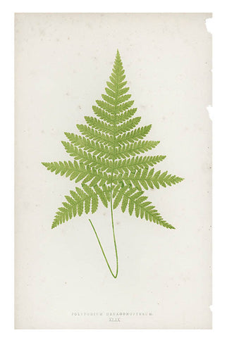 Polypodium Hexagonopterum Fern Print, c. 1872