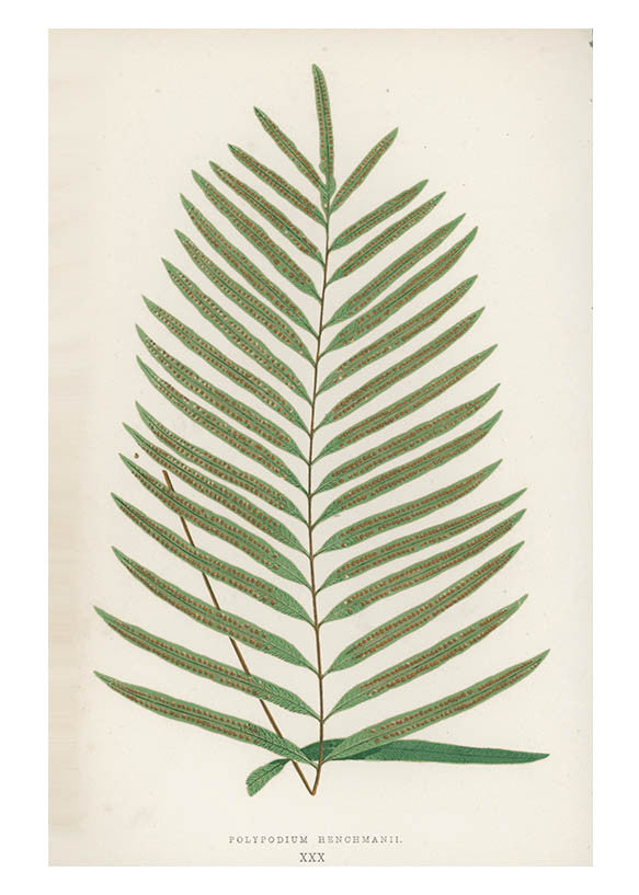 Polypodium Henchman Fern Print, c. 1872
