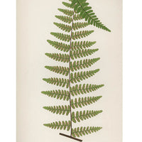1: Cheilanthes Spectabilis Fern Print, c. 1872 in  - LEIF
