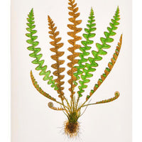 1: Vintage Fern Print, Cetfrach Officinarum in  - LEIF