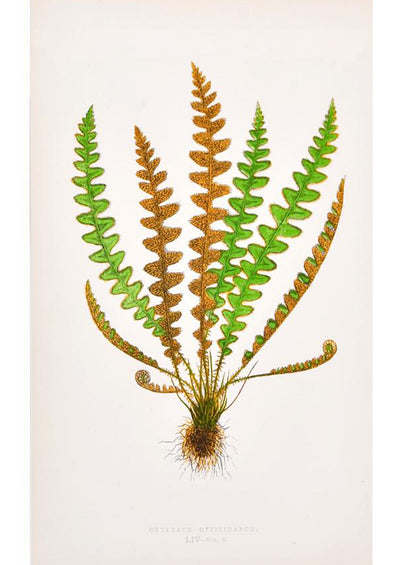 Vintage Fern Print, Cetfrach Officinarum