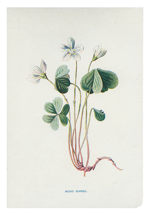 Vintage Flowering Plants Print, Wood Sorrel - LEIF