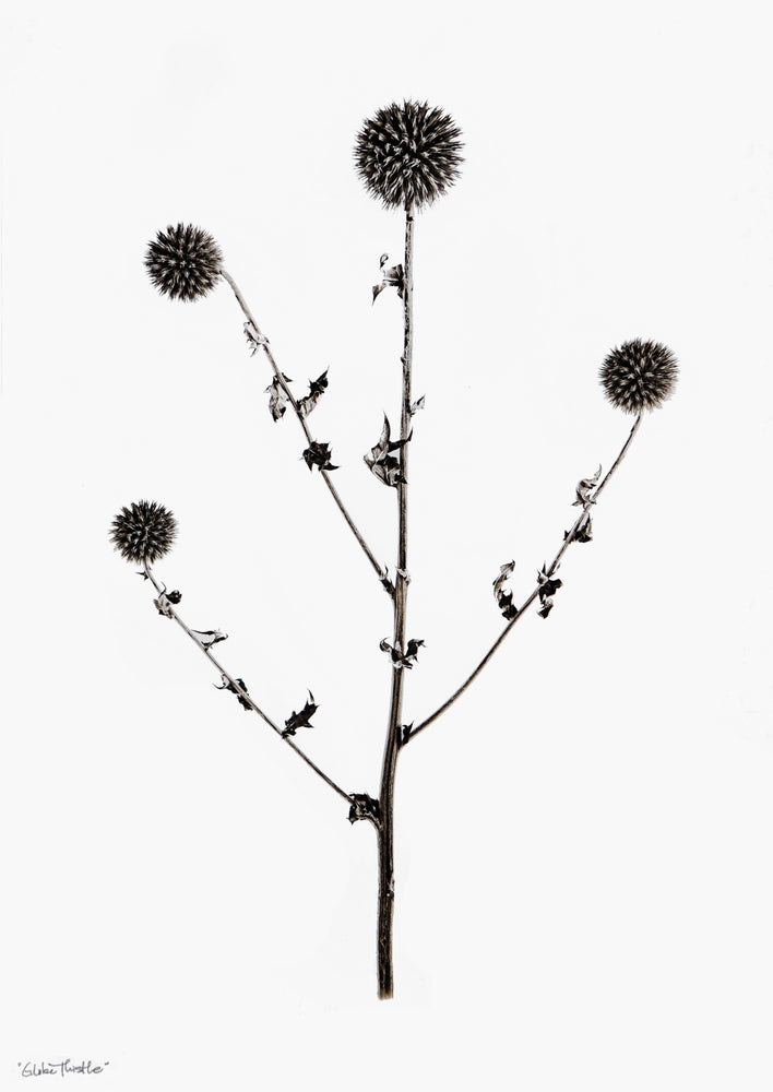 Globe Thistle Print in  - LEIF