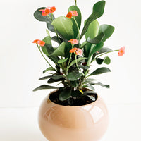 "2: A glossy brown ceramic planter with a ""queen of thorns"" plant."
