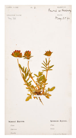 Vintage Pressed Flower Plate, Kidney Vetch