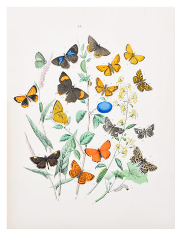 Orange Fritillary Butterflies Print, c. 1883