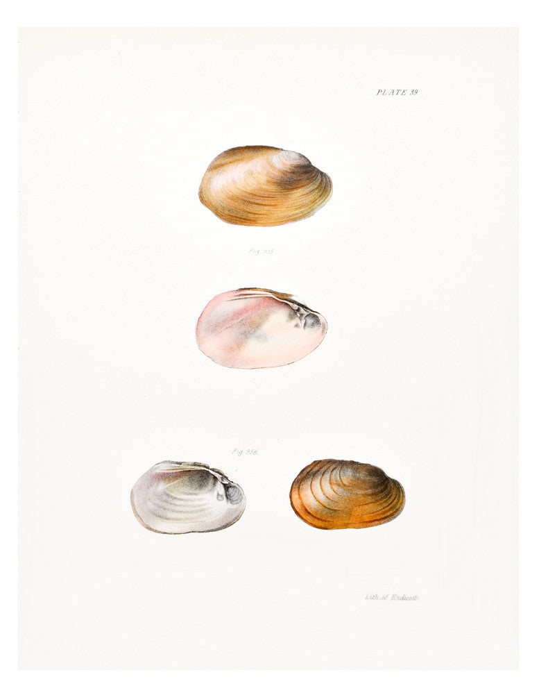 Pink Clamshell Print, c. 1844 - LEIF