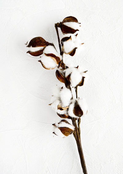 Dried botanical stem of natural cotton in pods