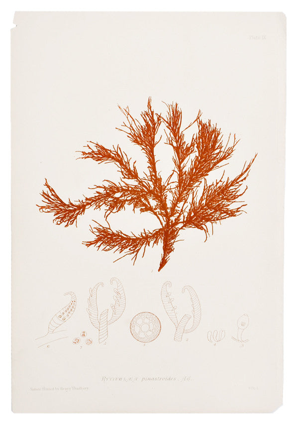 Rytiphlea Pinastroides Seaweed Print, c. 1872 - LEIF