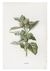 Vintage Flowering Plants Print, Burdock - LEIF