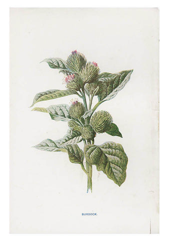 Vintage Flowering Plants Print, Burdock