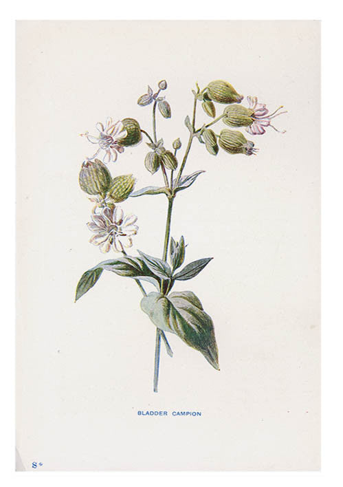 Vintage Flowering Plants Print, Bladder Campion