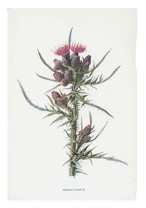 Vintage Flowering Plants Print, Marsh Thistle