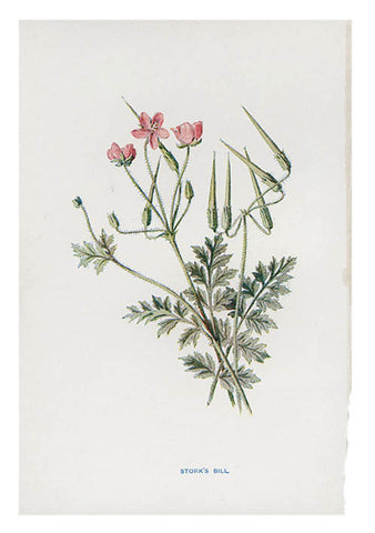 Vintage Flowering Plants Print, Stork's Bill