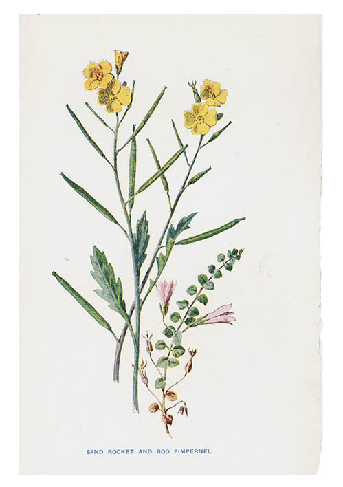 Vintage Flowering Plants Print, Sand Rocket