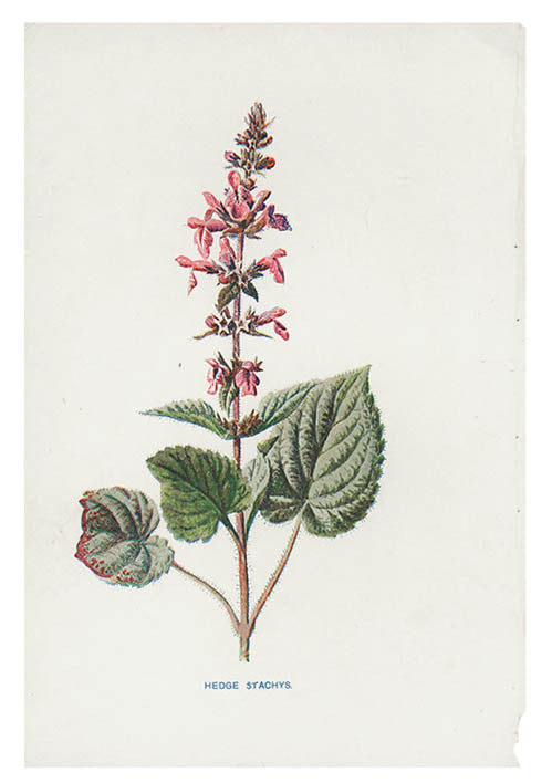Vintage Flowering Plants Print, Hedge Stachys - LEIF