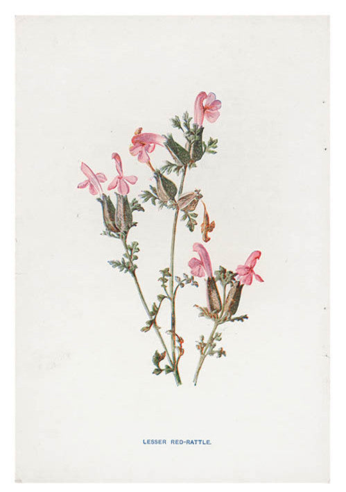 Vintage Flowering Plants Print, Red Rattle
