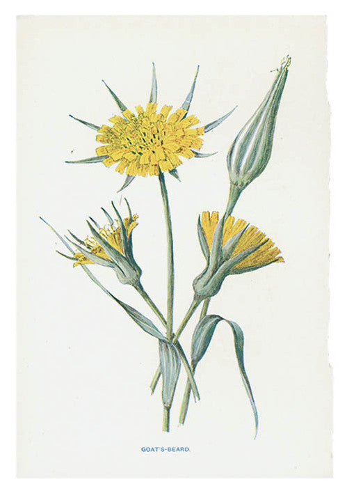 Vintage Flowering Plants Print, Goat's Beard
