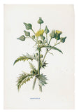 Vintage Flowering Plants Print, Sowthistle