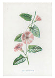 Vintage Flowering Plants Print, Field Convolvulus