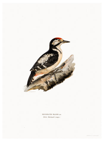 Swedish Bird Lithograph, Spotted Woodpecker