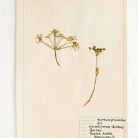 1: Dried dill specimen preserved on paper, intended for use as artwork