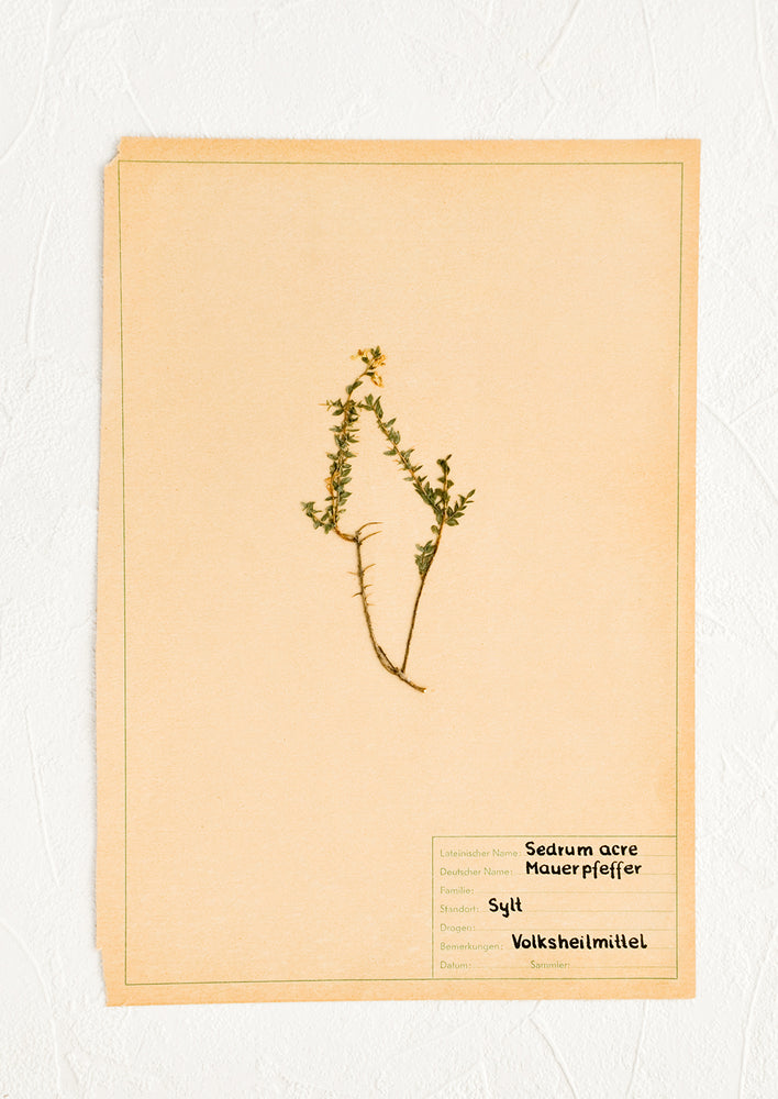 1: Dried floral specimen taped and preserved on paper, intended for framing