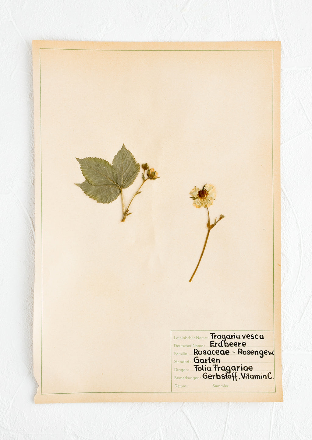 1: One hundred year old dried floral specimen (wild strawberry) on paper, used as artwork