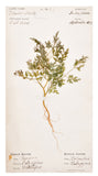 Vintage Pressed Flower Plate, Wild Carrot
