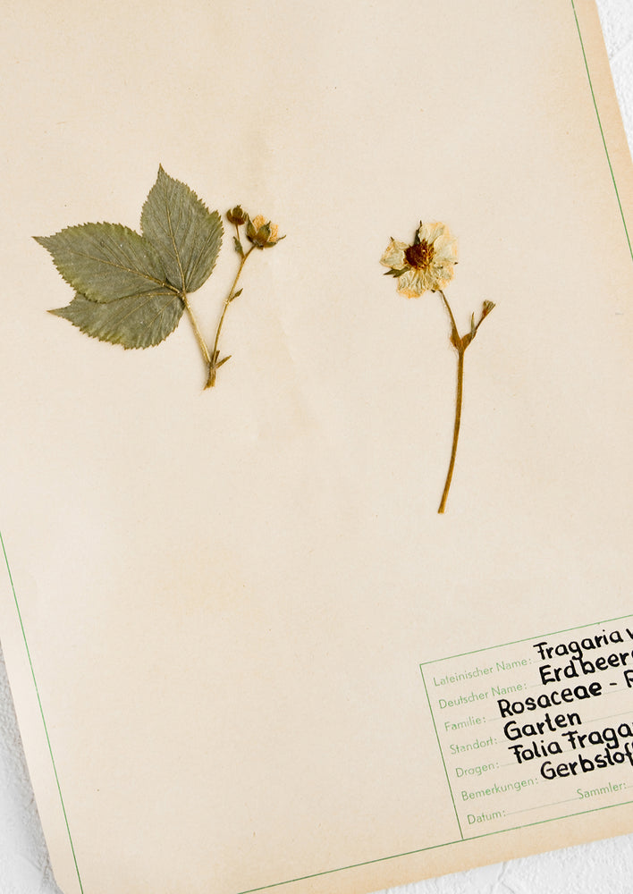 2: One hundred year old dried floral specimen on paper, used as artwork
