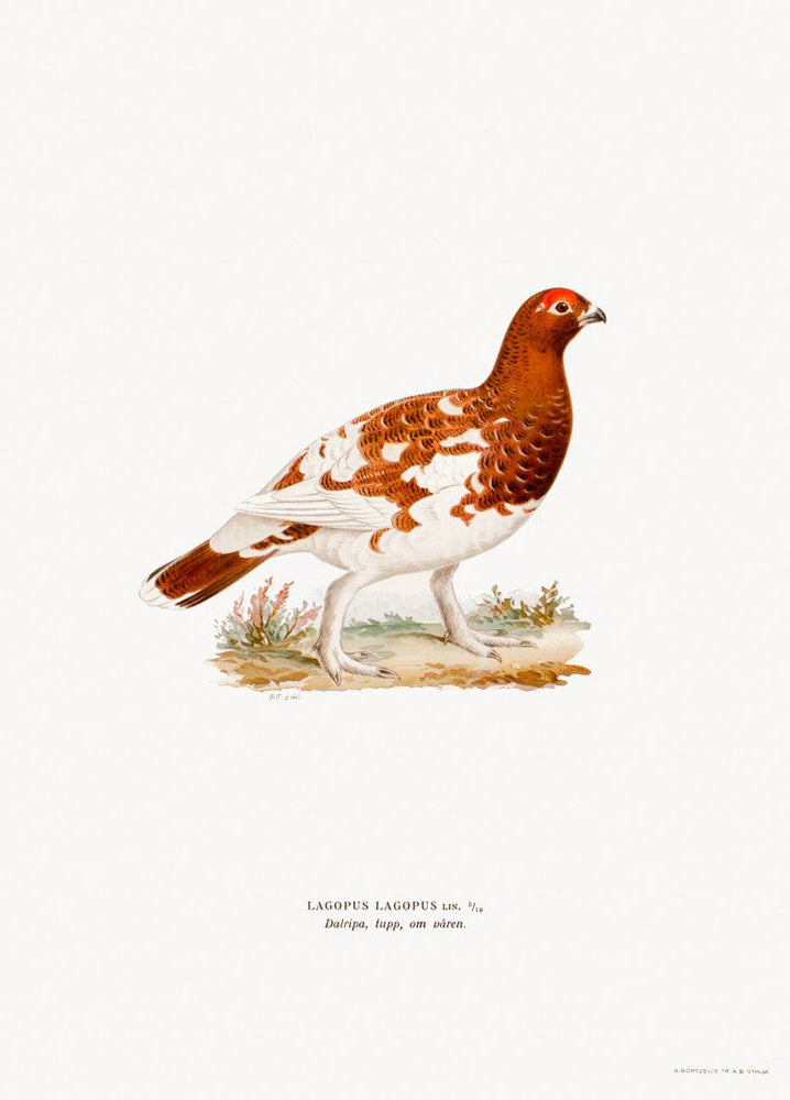 Swedish Bird Lithograph, Willow Ptarmigan