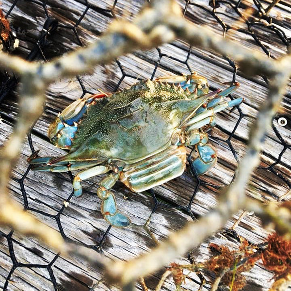 Blue Claw Crab Caught in a Cage