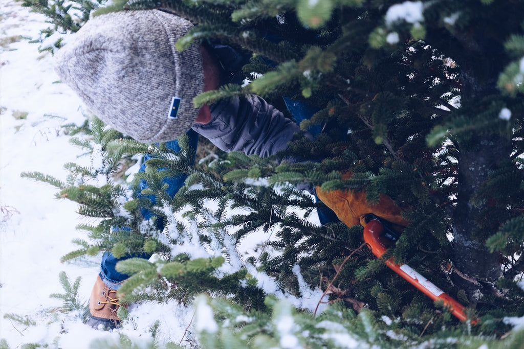 Harvesting your Christmas Tree