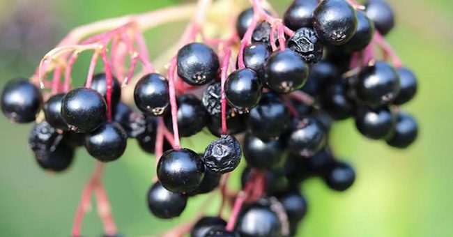 Scientists Verify Elderberry Beats the Flu, Prevents Colds & Strengthens Immunity