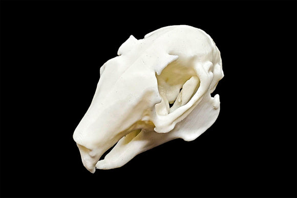 Indian Hare Skull || Vegan Friendly Renewable Material Ethically Sourced Replica Skull 3D printed Rabbit Skull Gothic Home Decor