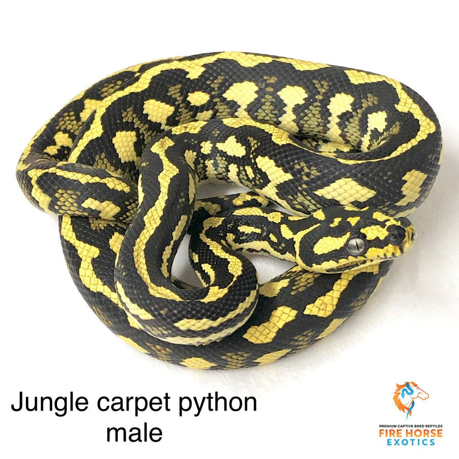 Jungle Carpet Python - Breeder - Male