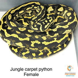 Jungle Carpet Python - Breeder - Female