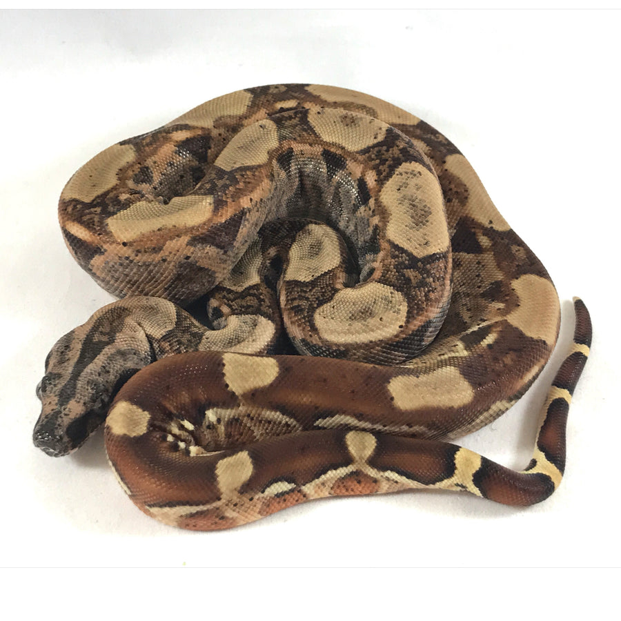 Hypo RLT het Dragon Boa - Breeder - male